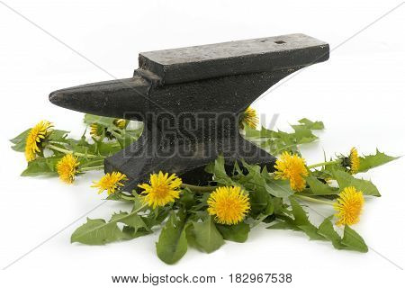 Yellow dandelions green leaves under the load of a destructive anvil