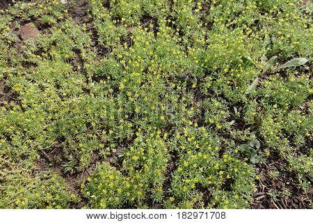 Lots of little flowering Ceratocephala testiculata plants