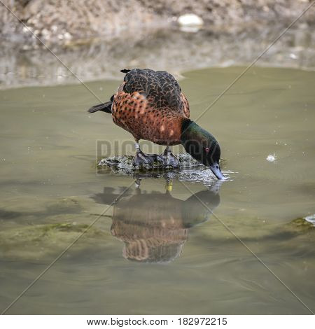 Beautiful Portrait Of Chestnut Teal Male Anas Castanea Duck Bird On Water In Spring