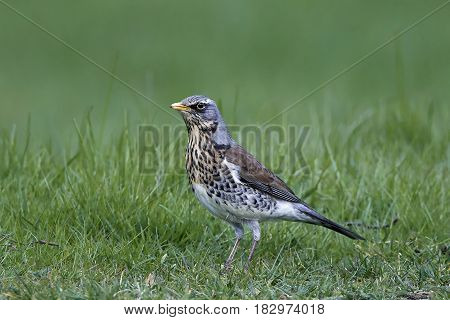 Fieldfare standing in grass in its habitat