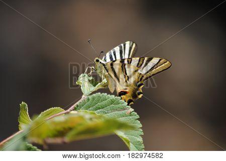 gestreepte vlinder op groen blad macro bruine achtergrond