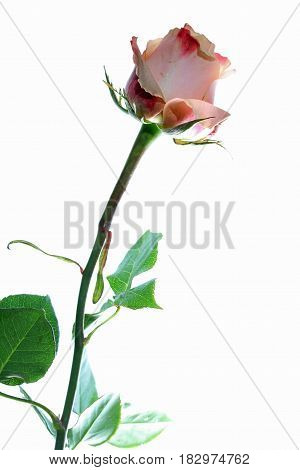 Pink Rose against white Background close up