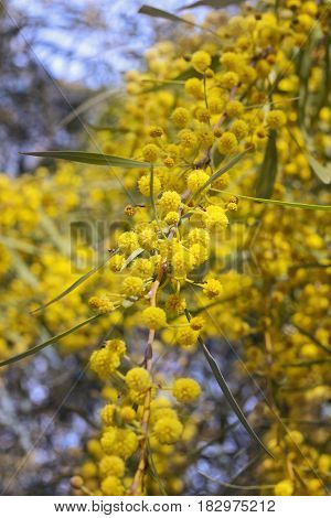 Acacia dealbata (known as silver wattle blue wattle or mimosa) growing outdoors