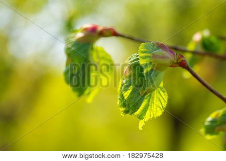Closeup of a linden sprout in early spring over green blurred background