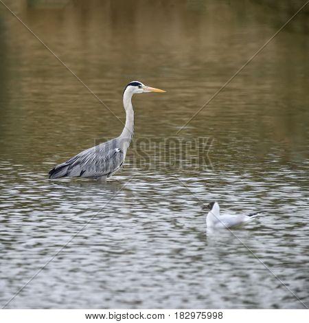 Beautiful Preying Grey Heron Ardea Cinerea Wading Looking For Fish In Spring