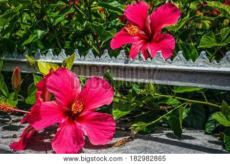 A close-up of some deep red hibiscus flowers along a road in Bermuda.