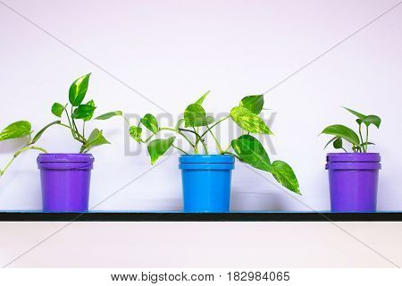 Three plants in blue and purple pot on a shelf on a pink wall as house decoration or home nature furniture background