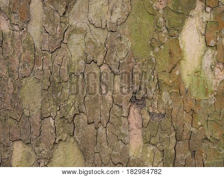 bark from an old leaf tree in spring