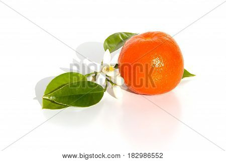Bitter orange fruit with leaves and blossom hanging on a branch isolated on white background