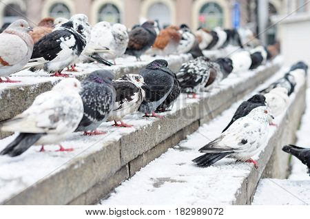 white, black, grey dove sitting on the steps. Cold winter day.  Pigeons are warming themselves.