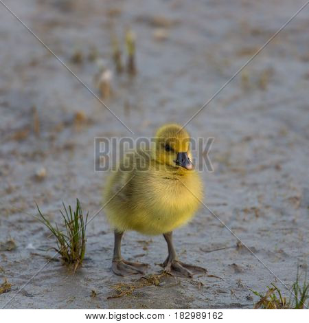 Yellow Baby Gray Goose (anser Anser) Standing In Mud