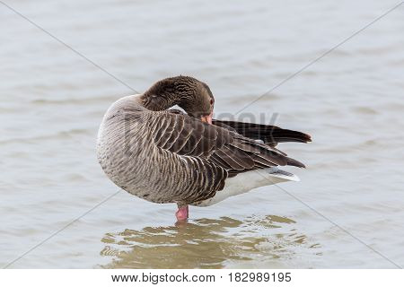 Portrait Of Standing Grooming Gray Goose (anser Anser) In Water