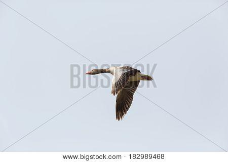 Portrait Of Flying Gray Goose (anser Anser) In Gray Sky