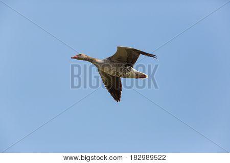 Portrait Of Flying Gray Goose (anser Anser) In Blue Sky