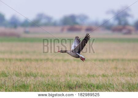 Portrait Of Flying Gray Goose (anser Anser) In Meadow