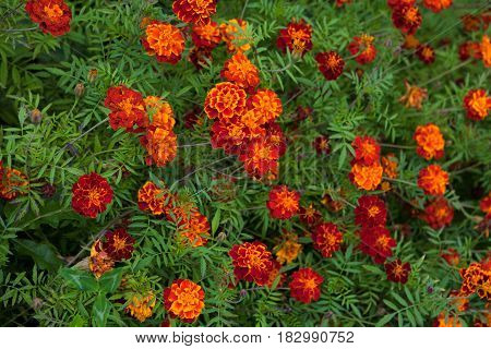 Colorful Natural floral background of Yellow and orange flowers marigold. Growing Tagetes patula flower Close Up. Summertime. Horizontal Beautiful Wallpaper with selective focus.