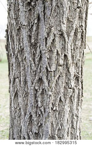 Willow tree outer shell pictures, tree bark, patterned bark, willow tree bark,