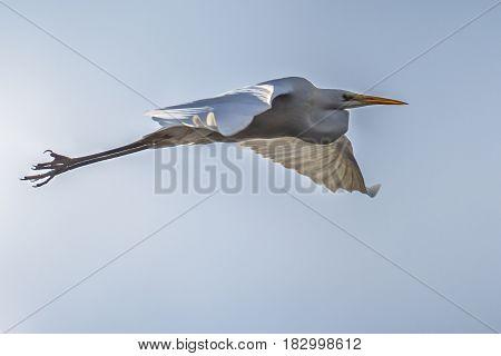 Flying Great White Egret