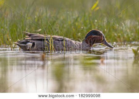 Male Common Teal Swimming In Marshland