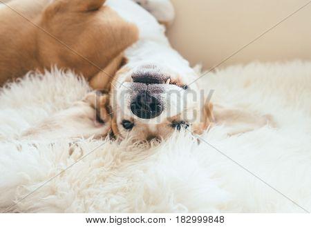 Funny beagle dog portrait lying on the natural sheepskin fur
