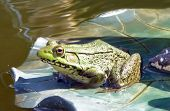 photo of real frog on fake lily pad poster