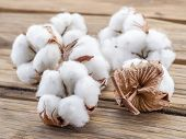 Fluffy cotton ball of cotton plant on the wooden table. poster