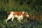 photograph of a brittany spaniel pointing in the grass poster