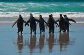 Rear view of seven king penguins entering the ocean at Volunteer Point Falkland Islands. poster
