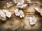 Spring Blossom over wood background poster