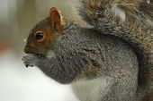Cute close up of squirrel eating with small snowflakes falling and on his fur. Close up of cute squirrel sitting with tail curled up eating in a light snowfall. Squirrel in snow flurries eating soft light blurred background. poster