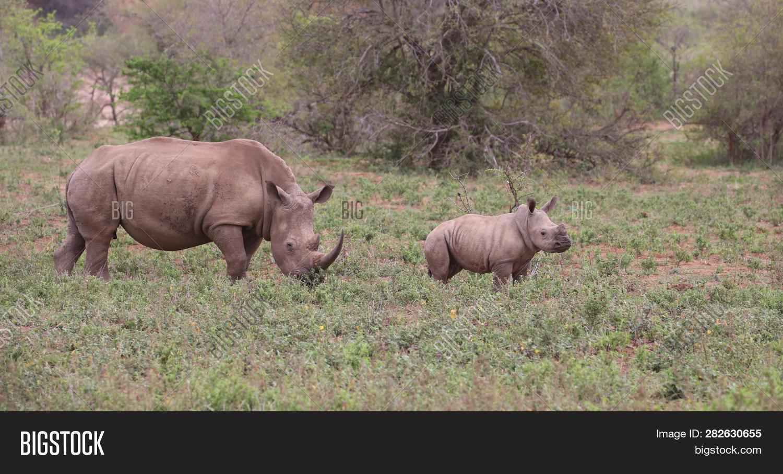 Rhino Mother Rhino Image & Photo (Free Trial) | Bigstock
