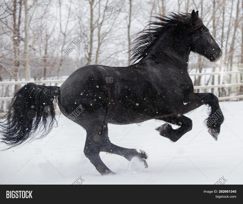 Friesian Horse Image Photo Free Trial Bigstock