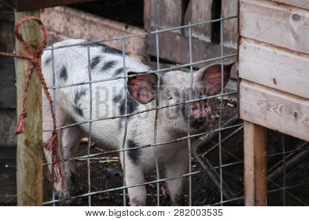 Little Piglet Begging For Food Through The Fence At Small Farm In Moordrecht