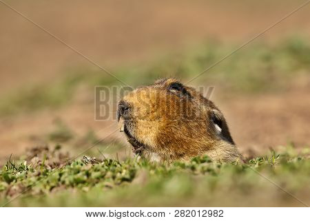 Close Up Of A Giant Mole-rat, Bale Mountains, Ethiopia.