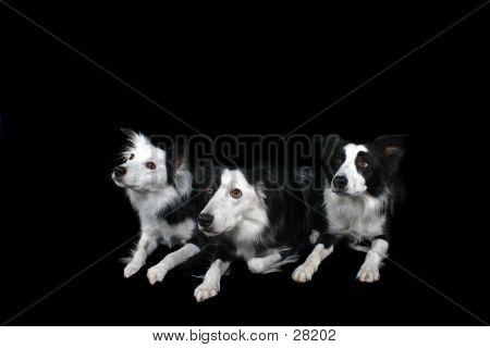 Three Border Collies