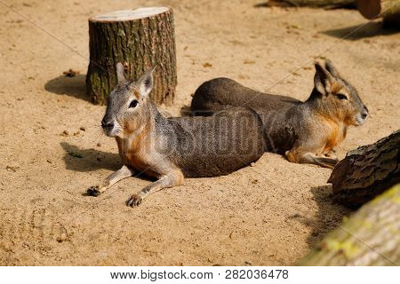 Portrait Of Pair Patagonian Maras (dolichotis Patagonum), Lying And Relaxed. Photography Of Nature A
