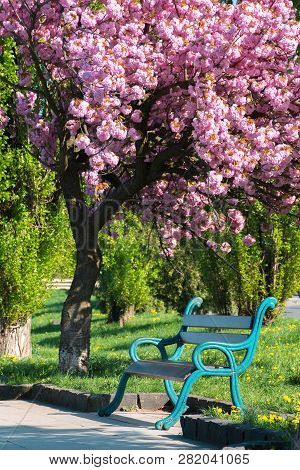 Bench Under The Blossoming Chery Tree In A Park. Beautiful Urban Scenery In The Morning. Wonderful B