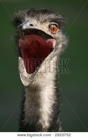 Austratian Emu