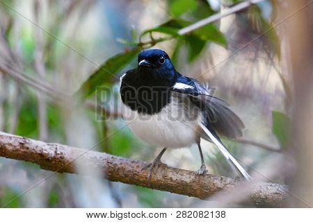 Bird Madagascar Magpie Robin, Copsychus Albospecularis, Perched On A Twig Against A Green Natural Ba