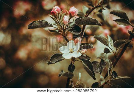 Florescence Of Apple Tree In The Garden Close-up Spring Scene On Bright Bokeh Background