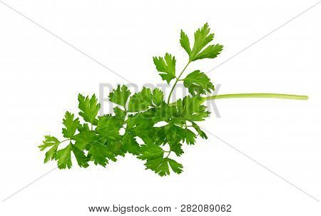 Parsley  Branch Isolated On White Background.  Parsley Herb Leaves. Celery Leaf.