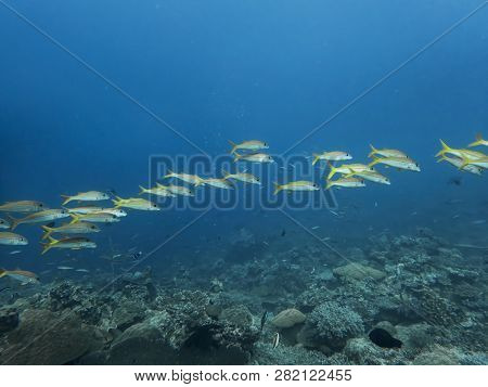 Bright yellowfin tropical goatfish make line swimming over reef with blue ocean background. poster
