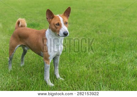 Dirty Mature Basenji Dog Standing On A Fresh Lawn After Run In Dirty Places