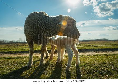Close Up Of Sheep Breastfeeding In Nature. Amazing Nature. Close Up Of A Sheep In Nature. Sheep. Nat