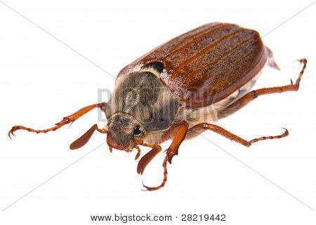 May bug macro isolated on white. Shallow DOF poster