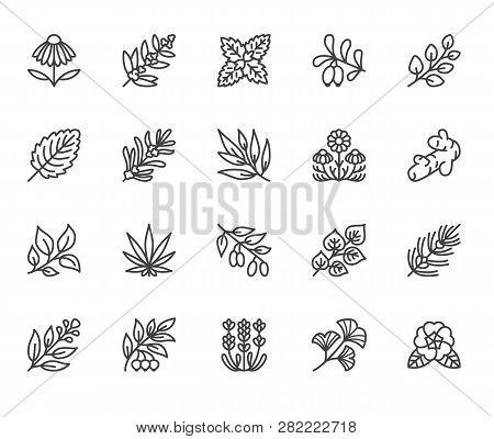 Medical Herbs Flat Line Icons. Medicinal Plants Echinacea, Melissa, Eucalyptus, Goji Berry, Basil, G