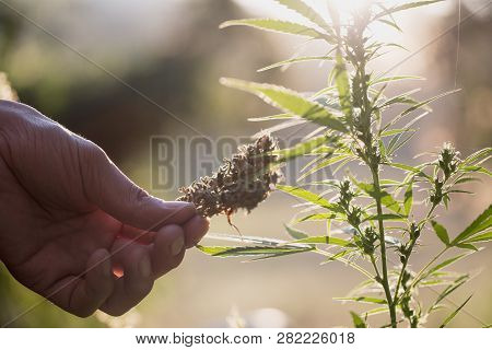 Cannabis Research, Cultivation Of Marijuana (cannabis Sativa), Flowering Cannabis Plant As A Legal M