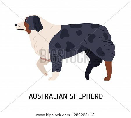 Australian Shepherd Or Aussie. Cute Purebred Herding Dog Or Sheepdog Isolated On White Background. B