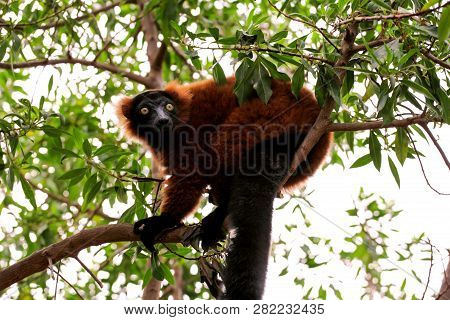 Ruffed Lemur From Madagascar Relaxes On A Tree And Looking At The Environment Around You. Ruffed Lem