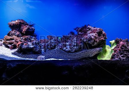 Macro Laced Moray   (gymnothorax Favagineus)